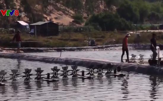 Phú Yên: Tăng cường phòng chống dịch bệnh trên tôm nuôi nước lợ