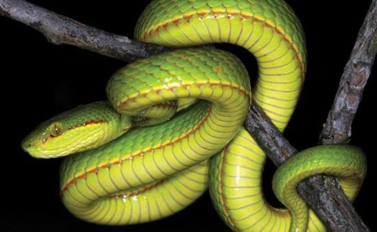 Nguy hiểm trực chờ khi rắn tràn vào vườn nhà trong mùa mưa