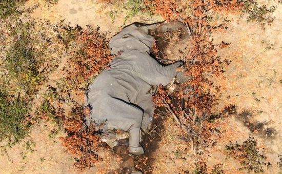 Hơn 400 con voi chết ở miền bắc Botswana chưa rõ nguyên nhân