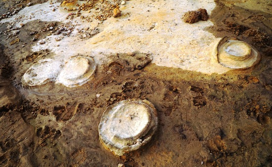 Phát hiện hóa thạch Cúc đá khoảng 200 triệu năm