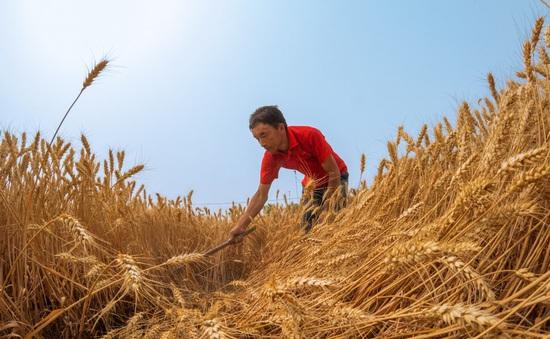 Dự trữ sụt giảm, an ninh lương thực của Trung Quốc bị đe dọa?