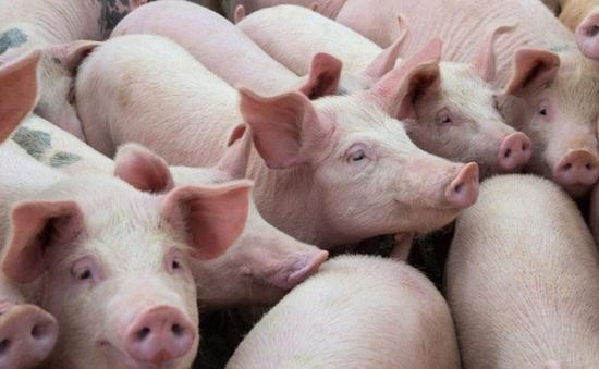 12 tỉnh, thành phố tăng đàn lợn 100%: Giá thịt cuối năm có giảm?