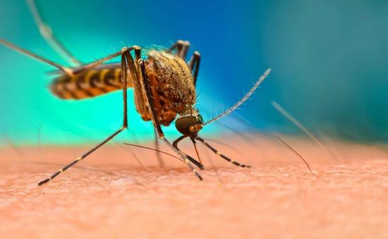 Mỹ thả 750 triệu con muỗi đực biến đổi gene để khống chế dịch sốt xuất huyết