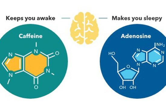 Xác định tế bào thần kinh có khả năng điều chỉnh giấc ngủ