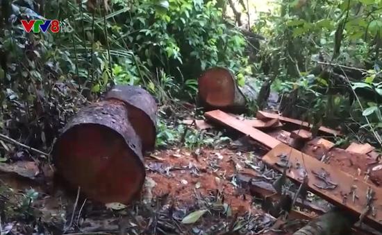 Liên tiếp xảy ra phá rừng tại huyện Bắc Trà My, tỉnh Quảng Nam