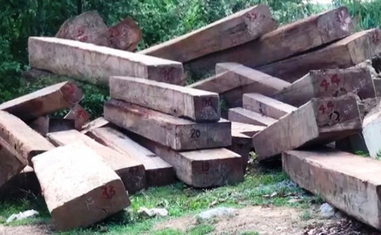 11m3 gỗ lậu được cất giấu trong rẫy