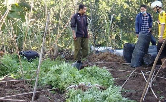 Phát hiện hàng trăm cây cần sa trồng trong vườn cam sành