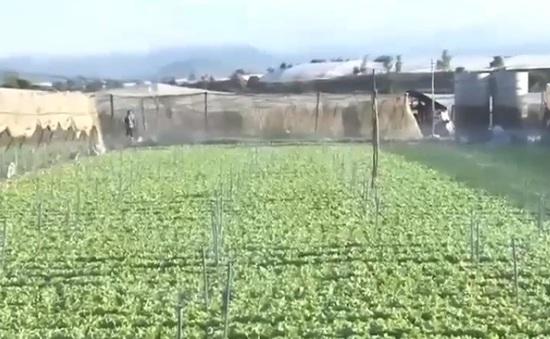 Lâm Đồng tập trung sản xuất vụ rau Tết