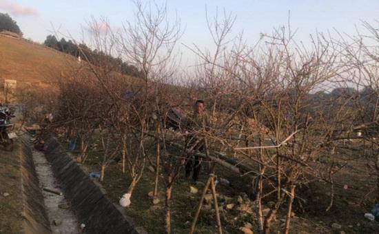 Cấm chặt và kinh doanh đào, mai từ rừng tự nhiên