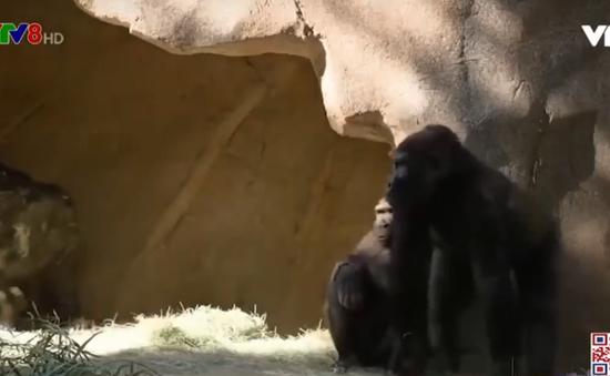 Mỹ lần đầu tiên phát hiện khỉ đột nhiễm COVID-19