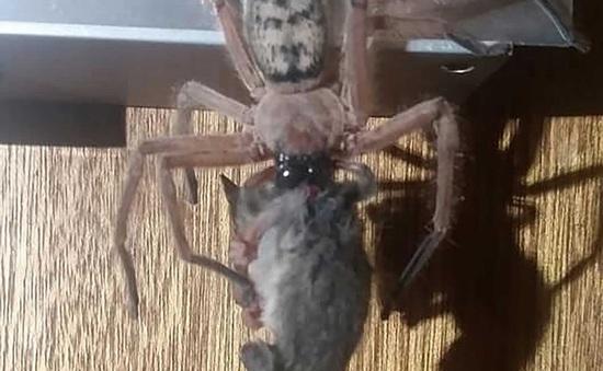 Hú vía, nhện độc khổng lồ xuất hiện ở nhà nghỉ