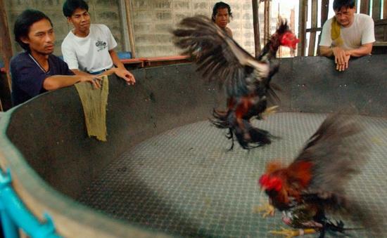 Sới chọi gà, sòng bạc là ổ dịch ngầm, cản trở Thái Lan ngăn dịch lần hai
