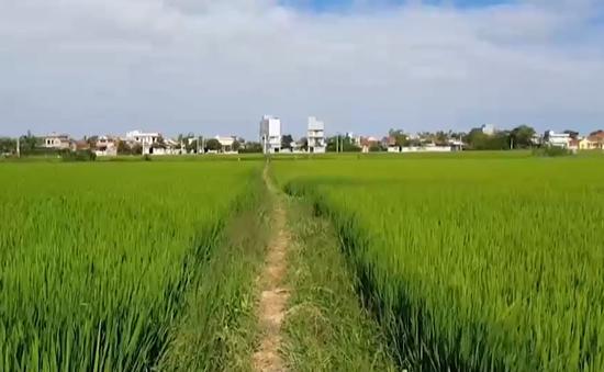 Ồ ạt thu gom đất trồng lúa để đón đầu các dự án
