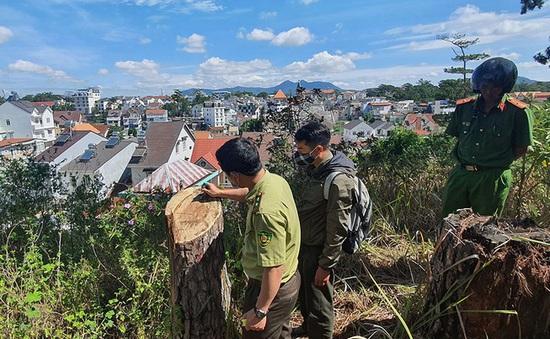 Rừng thông cổ thụ ngay giữa trung tâm Đà Lạt bị cưa hạ trái phép