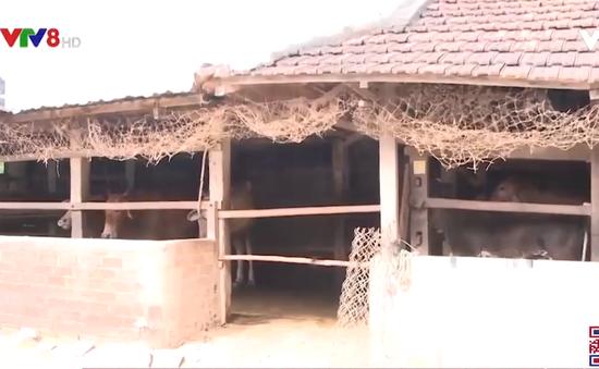 Bình Định: Tăng cường phòng chống dịch bệnh trên gia súc