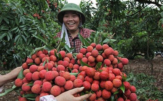 Bắc Giang bắt đầu thu mua vải sớm để xuất khẩu