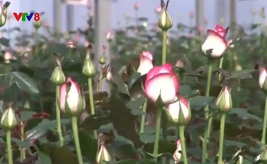 Lâm Đồng sản xuất giống hoa xuất khẩu đạt giá trị cao