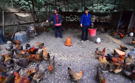 Trung Quốc giảm ngô, đậu tương trong thức ăn chăn nuôi