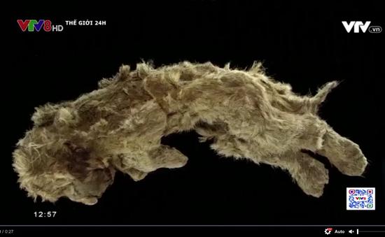 Phát hiện xác ướp sư tử được bảo quản nguyên vẹn sau hơn 28.000 năm