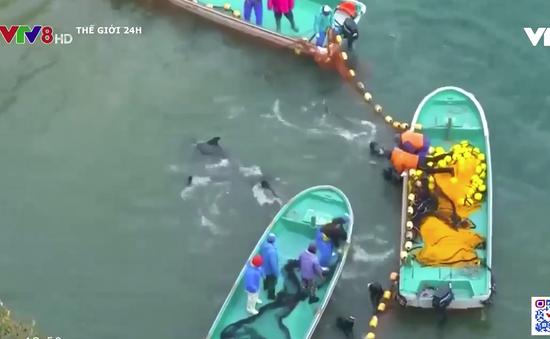 Mùa săn cá heo gây tranh cãi ở Nhật Bản lại bắt đầu