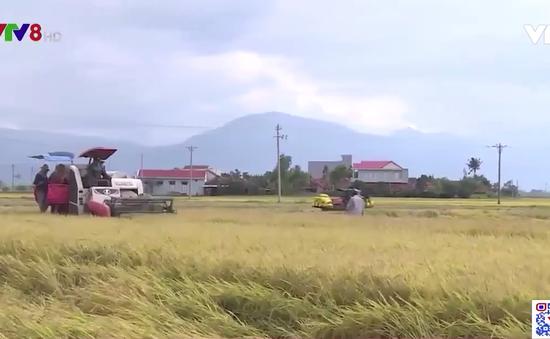 Phú Yên đẩy nhanh tiến độ thu hoạch lúa giảm thất thoát do mưa lũ