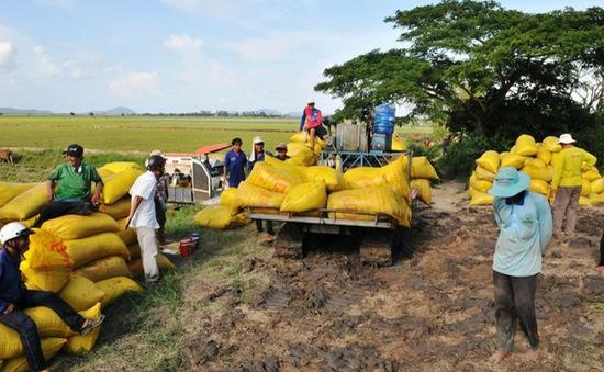 Doanh nghiệp cạn vốn mua lúa vụ Thu Đông