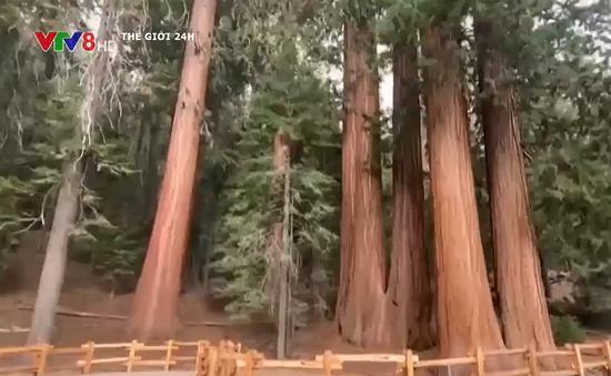 Mỹ giải cứu cây khổng lồ trước nguy cơ cháy rừng lan rộng