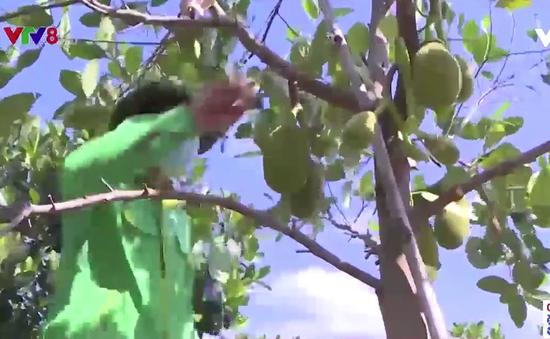 Kon Tum ứng dụng công nghệ cao phát triển cây ăn quả