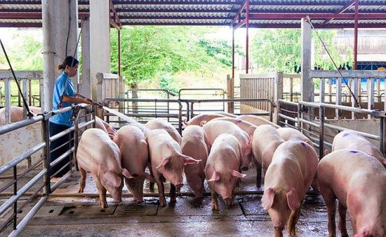 Giá lợn hơi chạm đáy, thấp nhất 2 năm