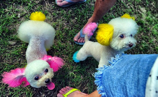 Những chú chó được nuông chiều nhất Hồng Kông
