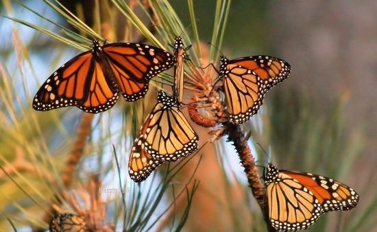 Bướm Monarch tuyệt đẹp trên đường di cư