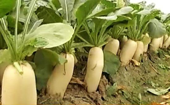 Hà Nội: Làng chuyên canh rau củ cải an toàn