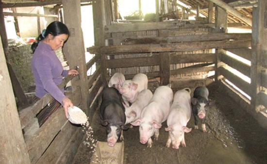 Bất cập gói hỗ trợ các hộ chăn nuôi nông hộ