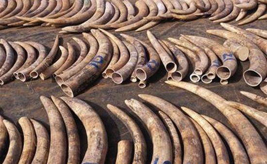 Trung Quốc thu giữ 307 chiếc ngà voi
