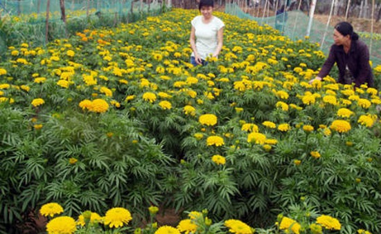Tết Việt qua loài hoa đặc trưng ở miền Trung