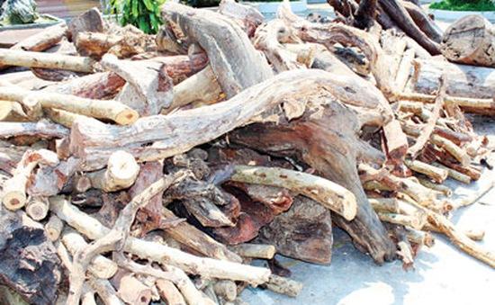 Thương lái ồ ạt thu mua cây trắc dây ở Nam Trung Bộ