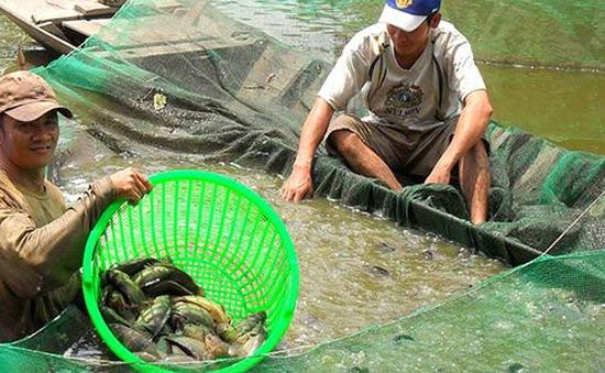 Quảng Trị: Thí điểm thành công mô hình nuôi cá rô đầu vuông