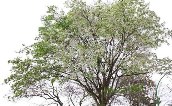 Hà Nội trắng sắc hoa sưa