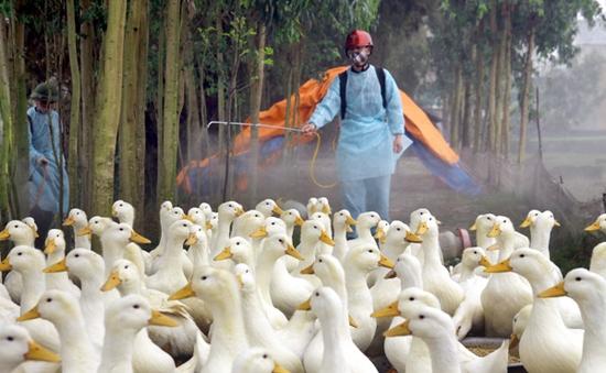 Chủ động phòng bệnh khi dịch H5N1 bùng phát lại