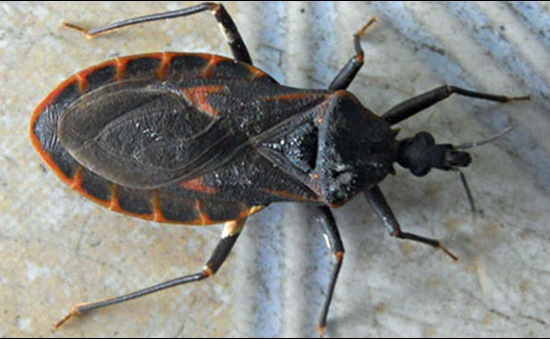 Quy Nhơn: Nhiều nơi phát hiện bọ xít hút máu người