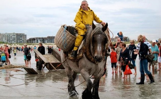 Đến Bỉ chiêm ngưỡng cảnh đánh cá trên lưng ngựa