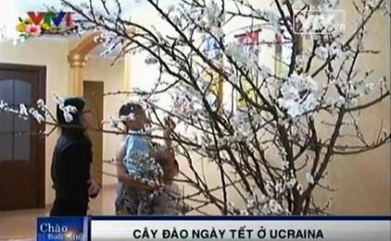 Chuyện cây đào ngày Tết ở Ukraine