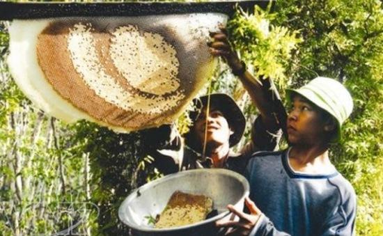 Nghề gác kèo ong ở vùng rừng U Minh Hạ