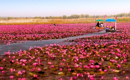 Đến Nong Han - Thái Lan ngắm đầm hoa rực rỡ sắc hồng