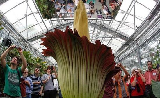 Chiêm ngưỡng loài hoa lớn nhất thế giới nở tại Pháp