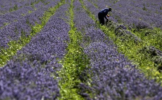 Bulgaria vào mùa hoa oải hương