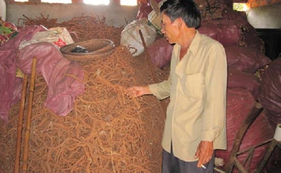Thực hư chuyện thu mua rễ tiêu ở Gia Lai
