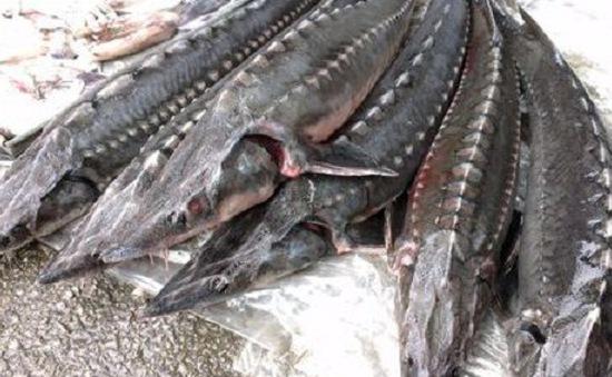 Cá tầm nhập lậu chứa tồn dư kháng sinh độc hại