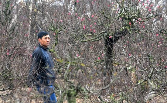 Tư vấn cách chăm sóc hoa đào trong những ngày giá rét