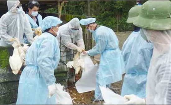 Quảng Ngãi: Tăng cường phòng chống dịch cúm A/H5N1